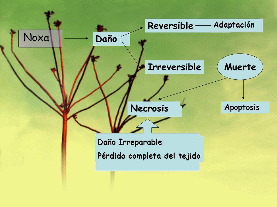 Noxa Reversible Daño Irreversible Muerte Necrosis Adaptación Apoptosis