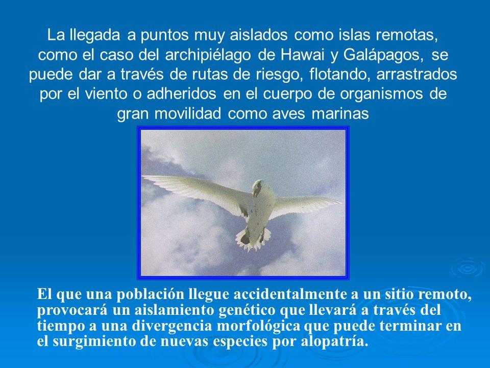 La llegada a puntos muy aislados como islas remotas, como el caso del archipiélago de Hawai y Galápagos, se puede dar a través de rutas de riesgo, flotando, arrastrados por el viento o adheridos en el cuerpo de organismos de gran movilidad como aves marinas