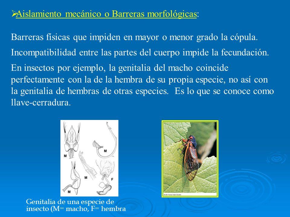 Aislamiento mecánico o Barreras morfológicas:
