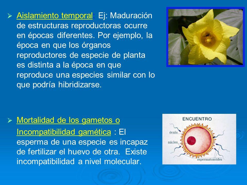 Aislamiento temporal: Ej: Maduración de estructuras reproductoras ocurre en épocas diferentes. Por ejemplo, la época en que los órganos reproductores de especie de planta es distinta a la época en que reproduce una especies similar con lo que podría hibridizarse.