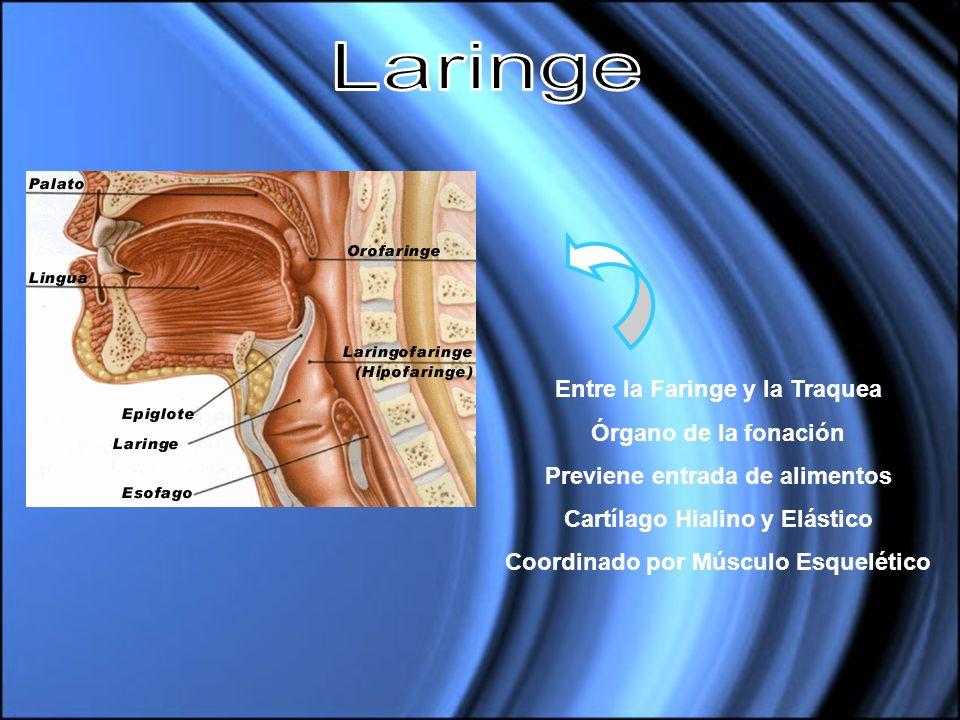 Laringe Entre la Faringe y la Traquea Órgano de la fonación