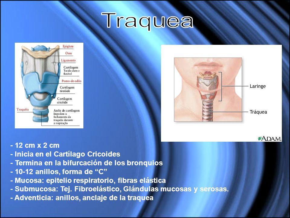 Traquea - 12 cm x 2 cm - Inicia en el Cartílago Cricoides