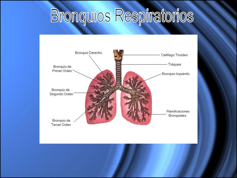 Bronquios Respiratorios