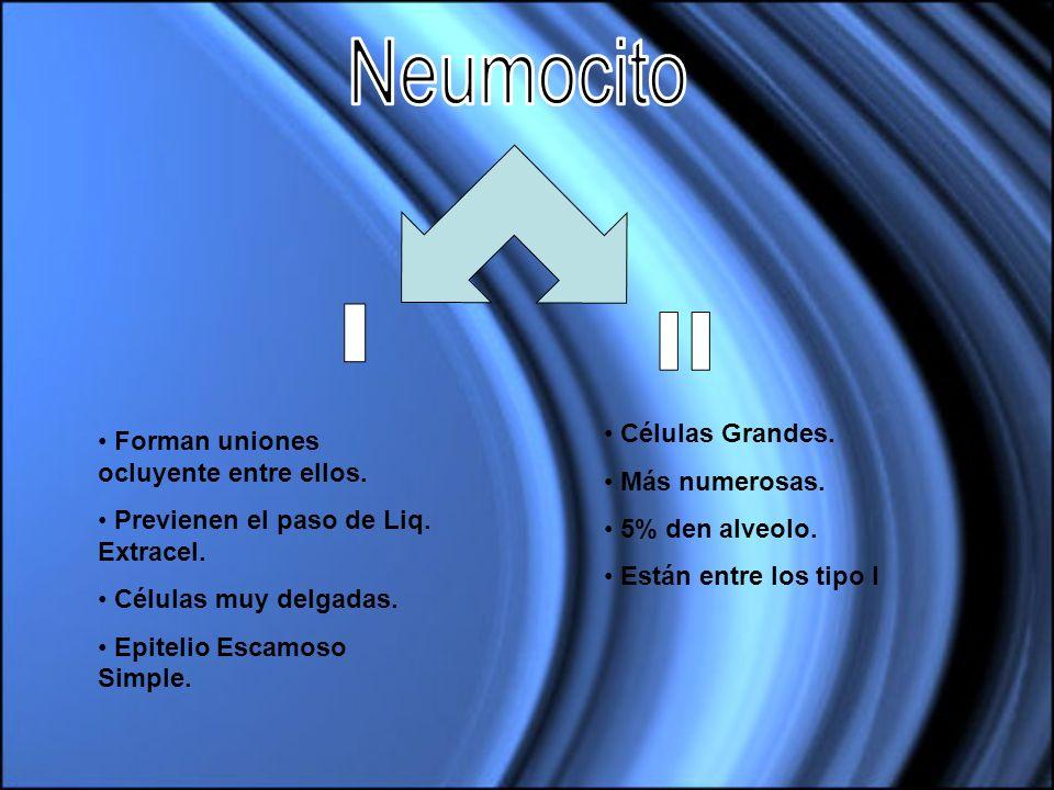 Neumocito I II Células Grandes. Forman uniones ocluyente entre ellos.