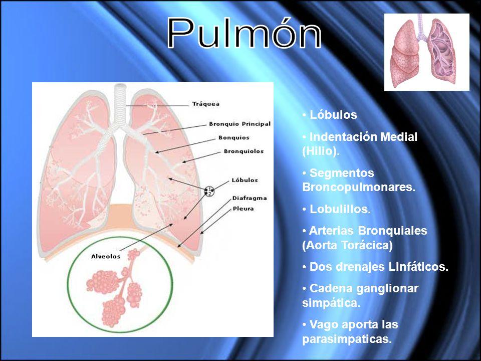 Pulmón Lóbulos Indentación Medial (Hilio). Segmentos Broncopulmonares.