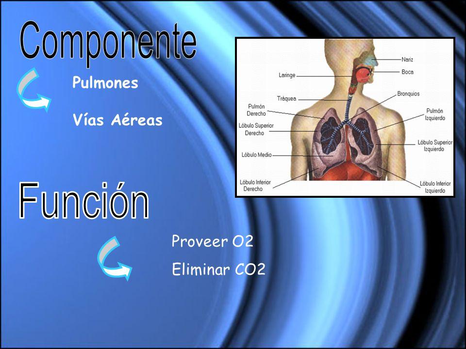Componente Pulmones Vías Aéreas Función Proveer O2 Eliminar CO2