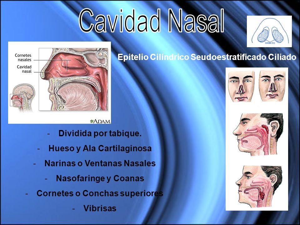 Cavidad Nasal Epitelio Cilíndrico Seudoestratificado Ciliado
