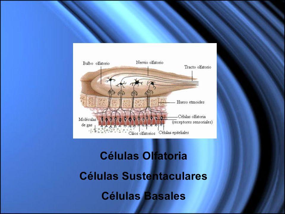 Células Sustentaculares