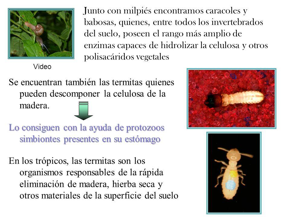 Junto con milpiés encontramos caracoles y babosas, quienes, entre todos los invertebrados del suelo, poseen el rango más amplio de enzimas capaces de hidrolizar la celulosa y otros polisacáridos vegetales