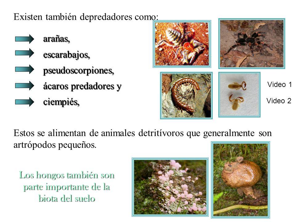 Los hongos también son parte importante de la biota del suelo