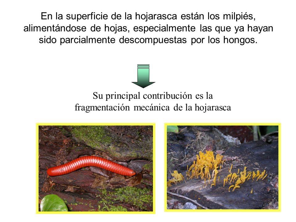 Su principal contribución es la fragmentación mecánica de la hojarasca