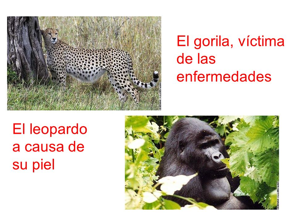 El gorila, víctima de las enfermedades