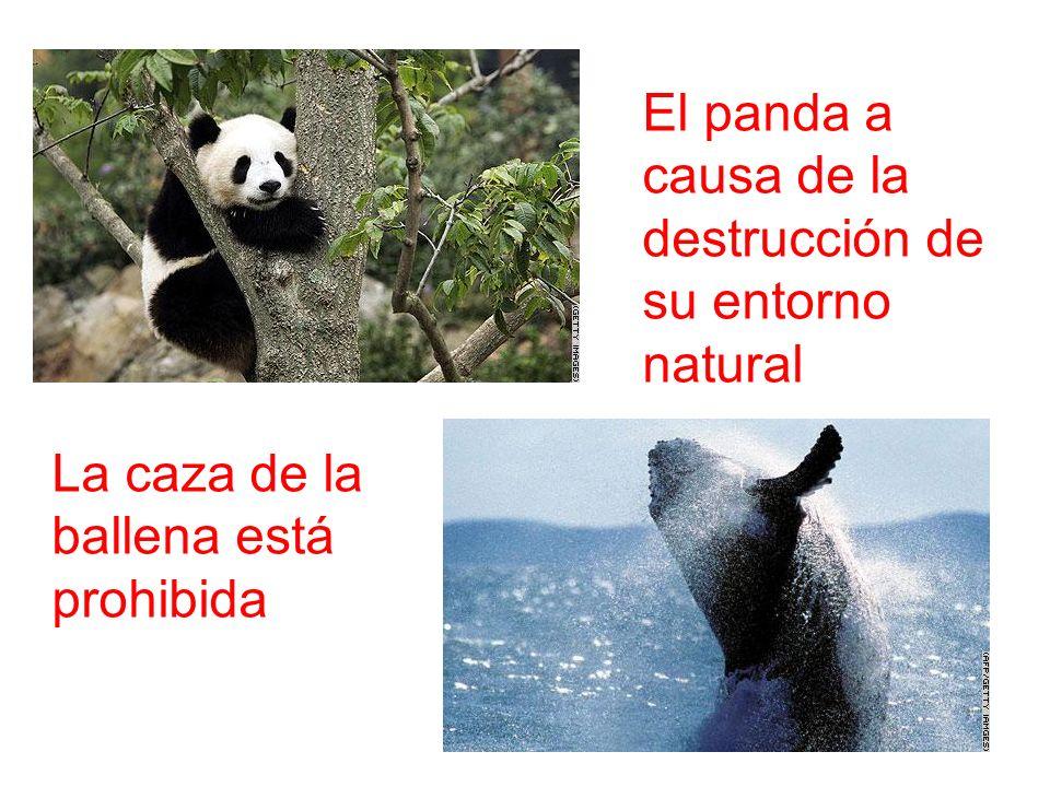El panda a causa de la destrucción de su entorno natural