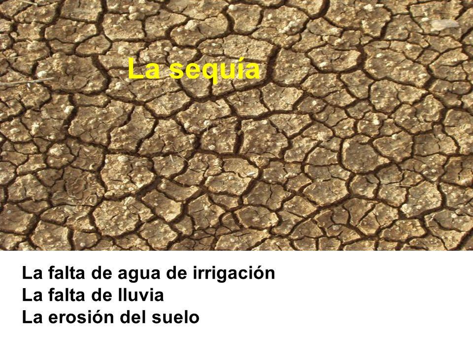 La sequía La falta de agua de irrigación La falta de lluvia