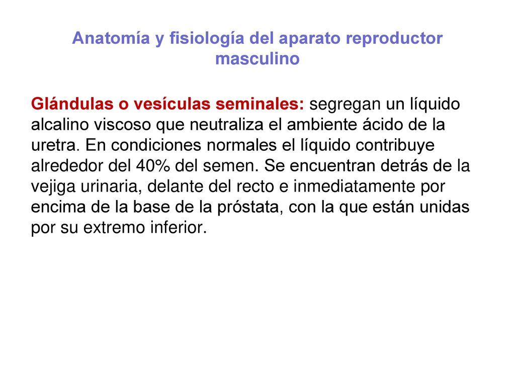 Atractivo Anatomía Y Fisiología De La Glándula De La Próstata Ppt ...