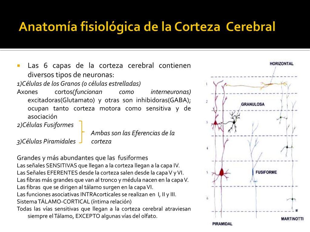 Atractivo La Anatomía Y Fisiología Del Cerebro Inspiración ...
