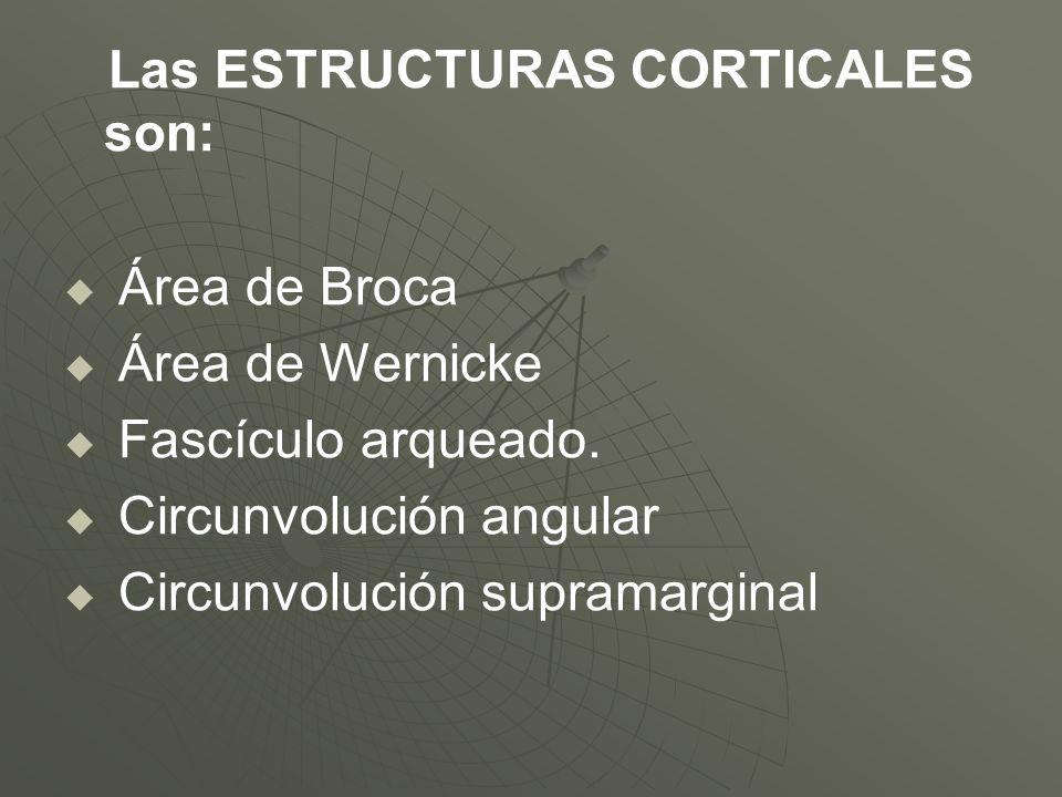 Las ESTRUCTURAS CORTICALES son: