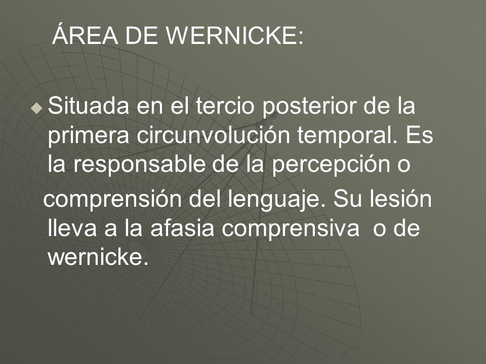 ÁREA DE WERNICKE:Situada en el tercio posterior de la primera circunvolución temporal. Es la responsable de la percepción o.