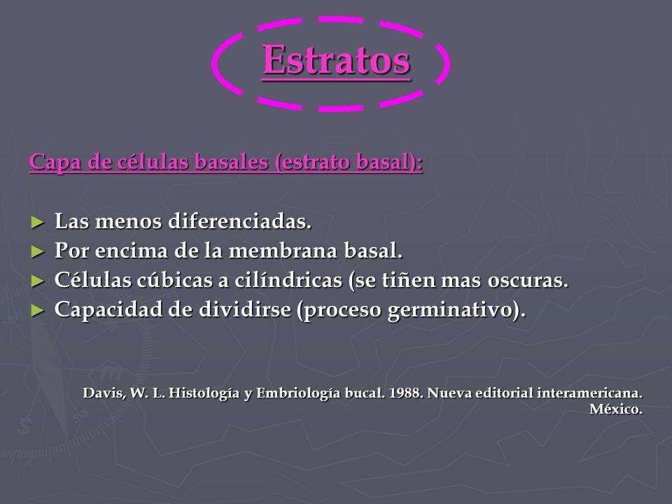 Estratos Capa de células basales (estrato basal):