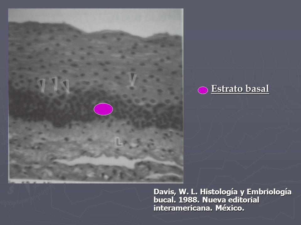 Estrato basal Davis, W. L. Histología y Embriología bucal.