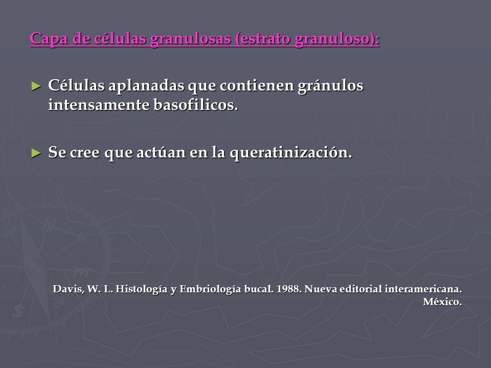 Capa de células granulosas (estrato granuloso):