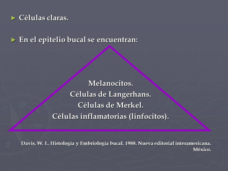 Células inflamatorias (linfocitos).
