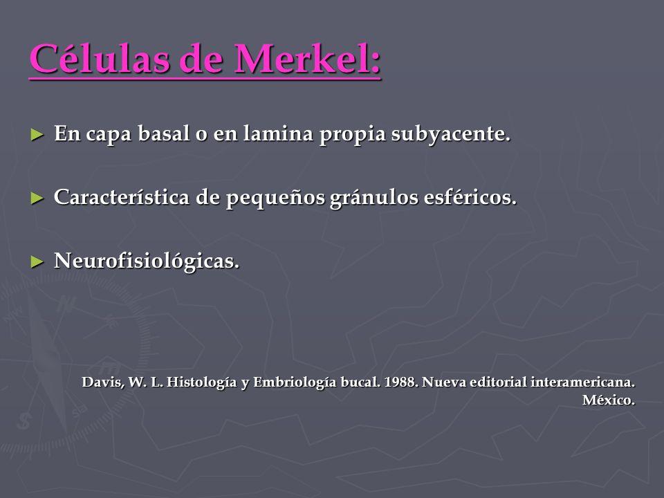Células de Merkel: En capa basal o en lamina propia subyacente.