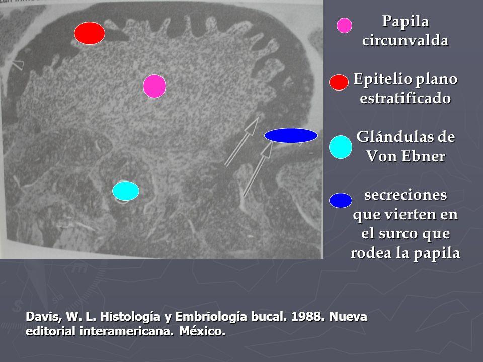 Papila circunvalda Epitelio plano estratificado Glándulas de Von Ebner secreciones que vierten en el surco que rodea la papila