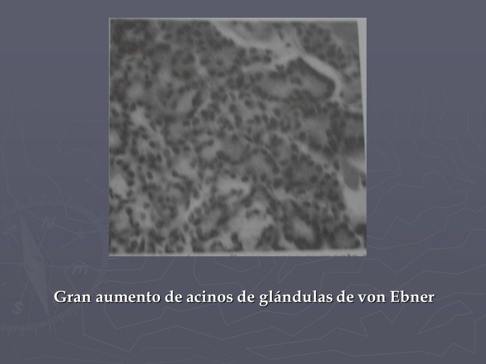 Gran aumento de acinos de glándulas de von Ebner