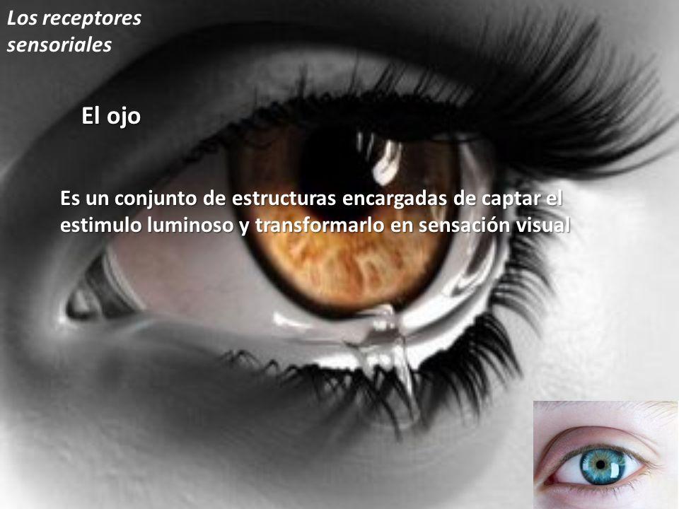 El ojo Los receptores sensoriales