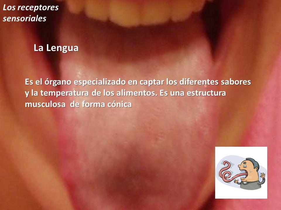 La Lengua Los receptores sensoriales