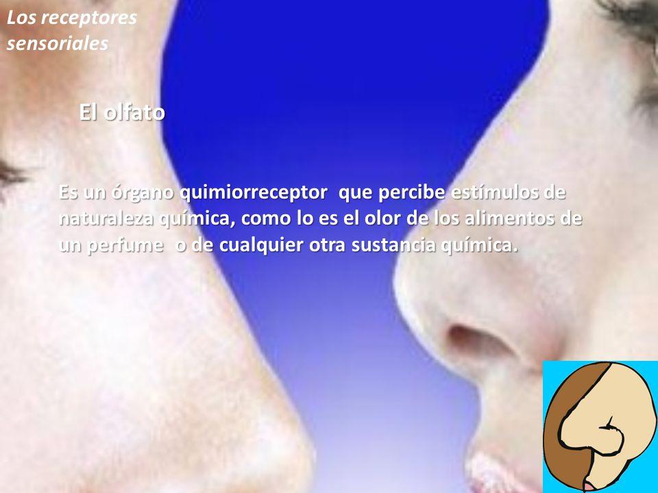 El olfato Los receptores sensoriales