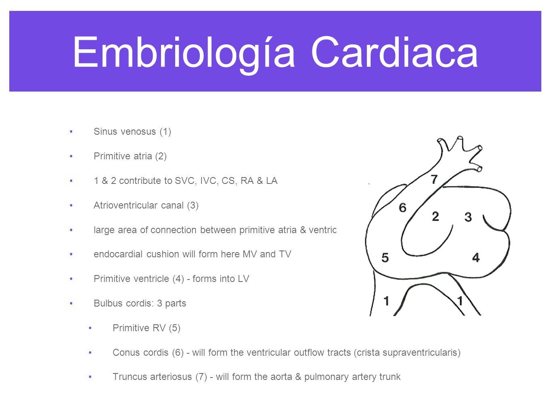 Embriología Cardiaca Sinus venosus (1) Primitive atria (2)