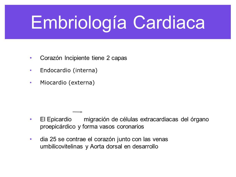 Embriología Cardiaca Corazón Incipiente tiene 2 capas