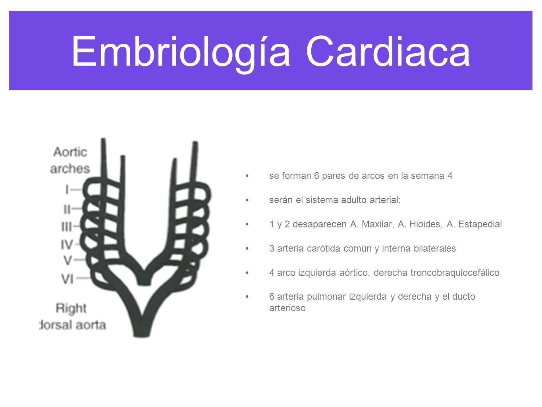 Embriología Cardiaca se forman 6 pares de arcos en la semana 4
