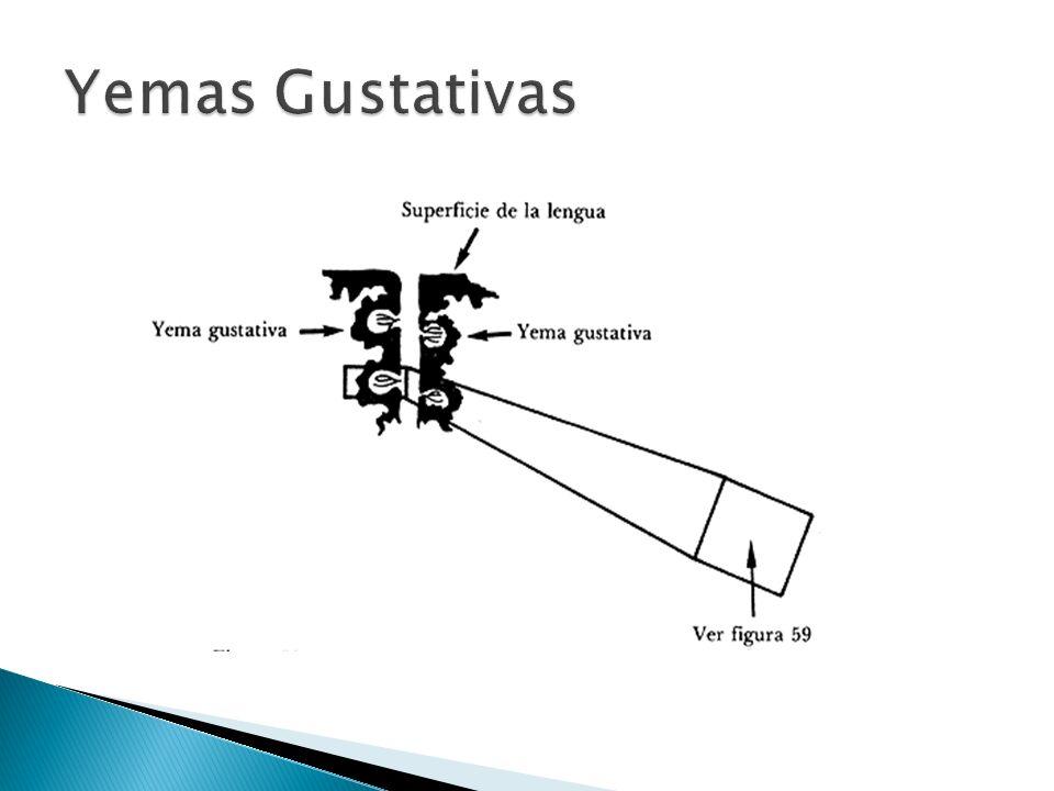 Yemas Gustativas