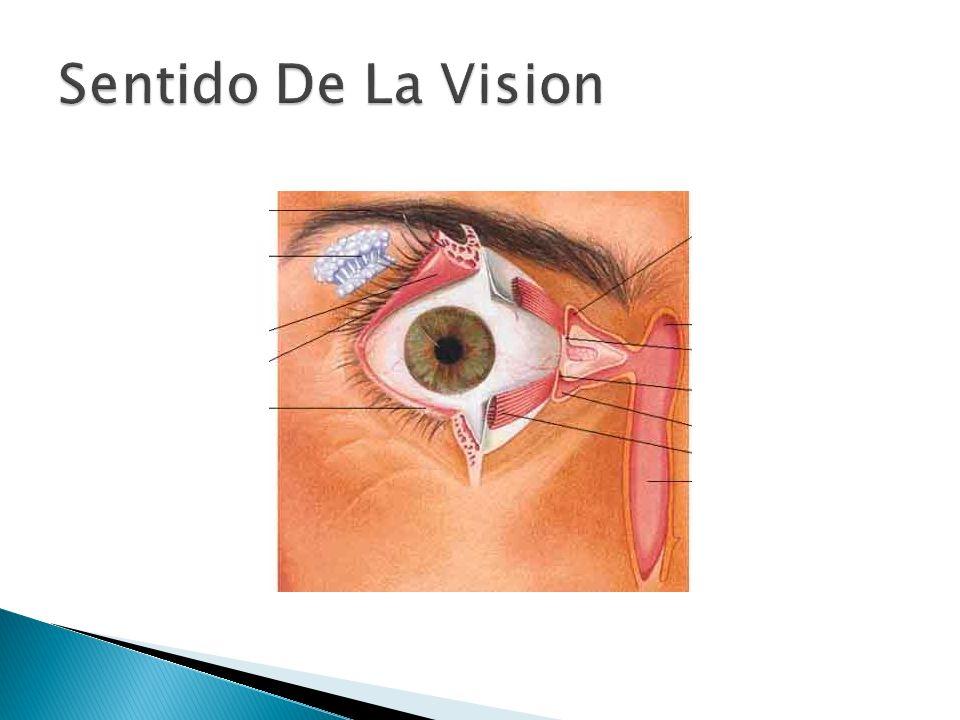Sentido De La Vision