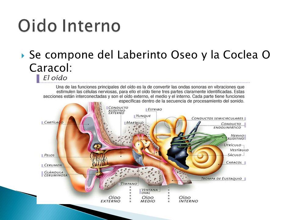 Oido Interno Se compone del Laberinto Oseo y la Coclea O Caracol: