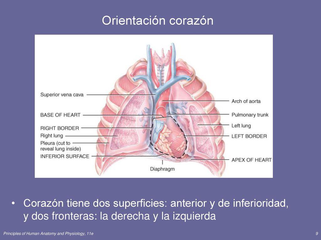 Único Anatomía De Las Tarjetas Del Corazón Composición - Anatomía de ...