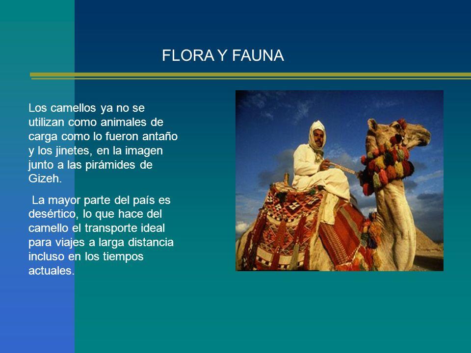FLORA Y FAUNA Los camellos ya no se utilizan como animales de carga como lo fueron antaño y los jinetes, en la imagen junto a las pirámides de Gizeh.