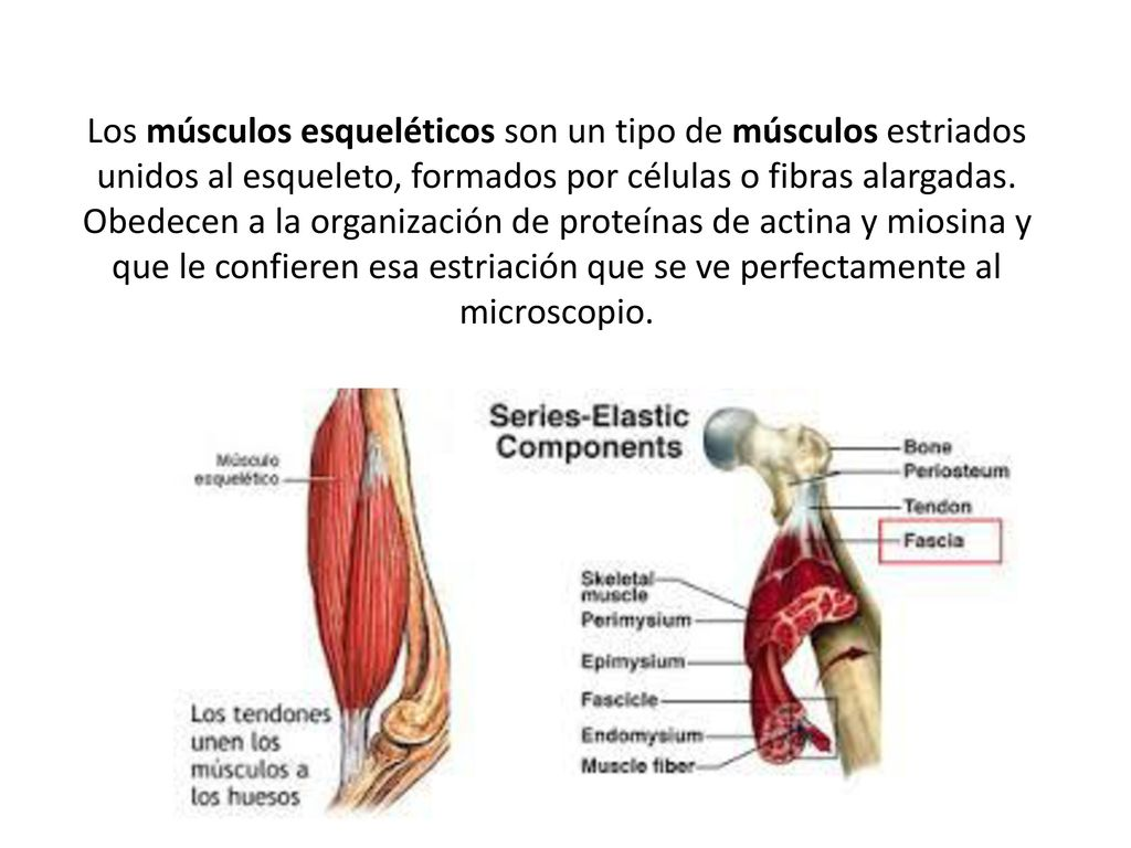 Magnífico La Anatomía Y La Organización De Los Músculos Esqueléticos ...