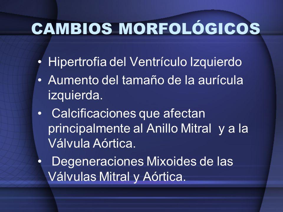 CAMBIOS MORFOLÓGICOS Hipertrofia del Ventrículo Izquierdo