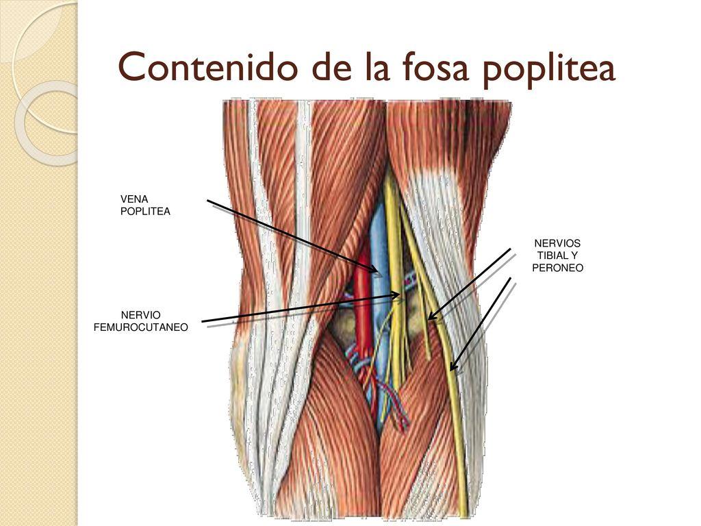 Vistoso Anatomía Fosa Componente - Anatomía de Las Imágenesdel ...