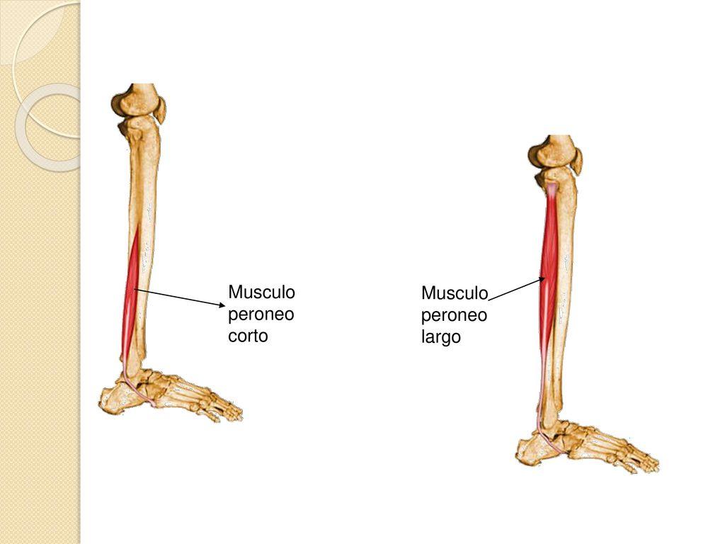 Fantástico Peroneo Corto Viñeta - Anatomía de Las Imágenesdel Cuerpo ...