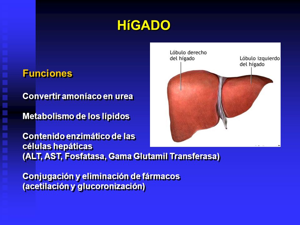 HíGADO Funciones Convertir amoníaco en urea Metabolismo de los lípidos