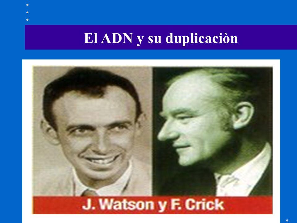 El ADN y su duplicaciòn