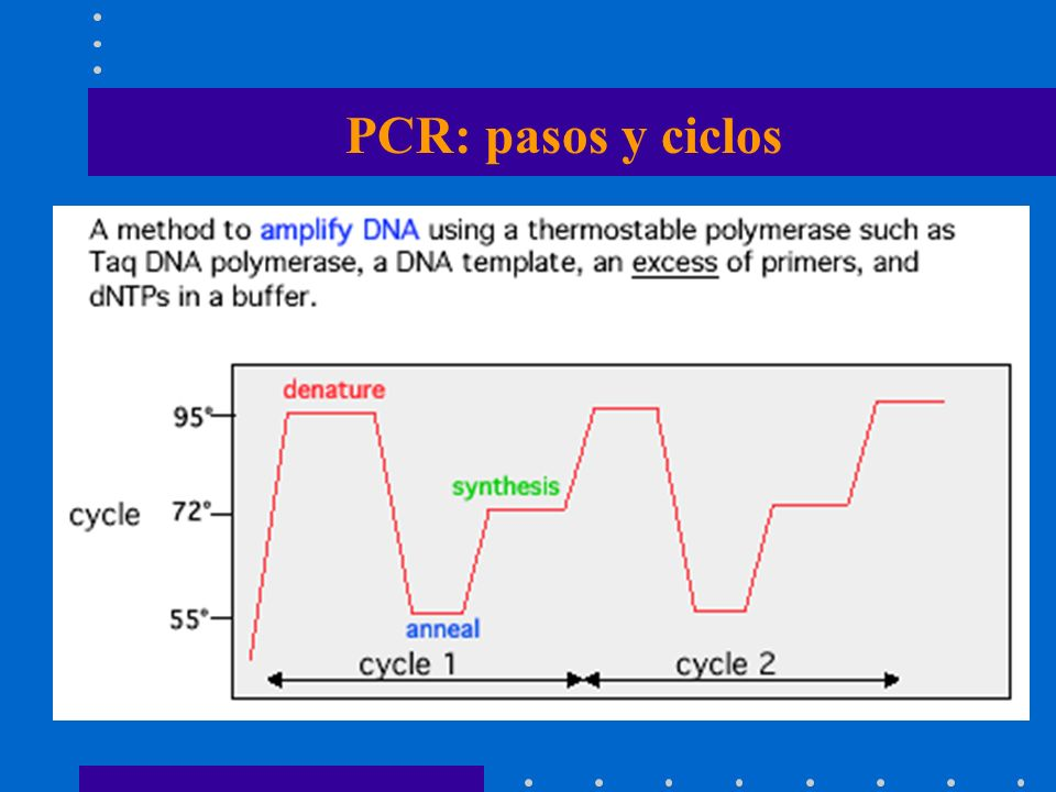PCR: pasos y ciclos