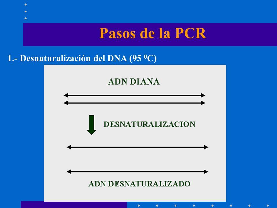 Pasos de la PCR 1.- Desnaturalización del DNA (95 0C)