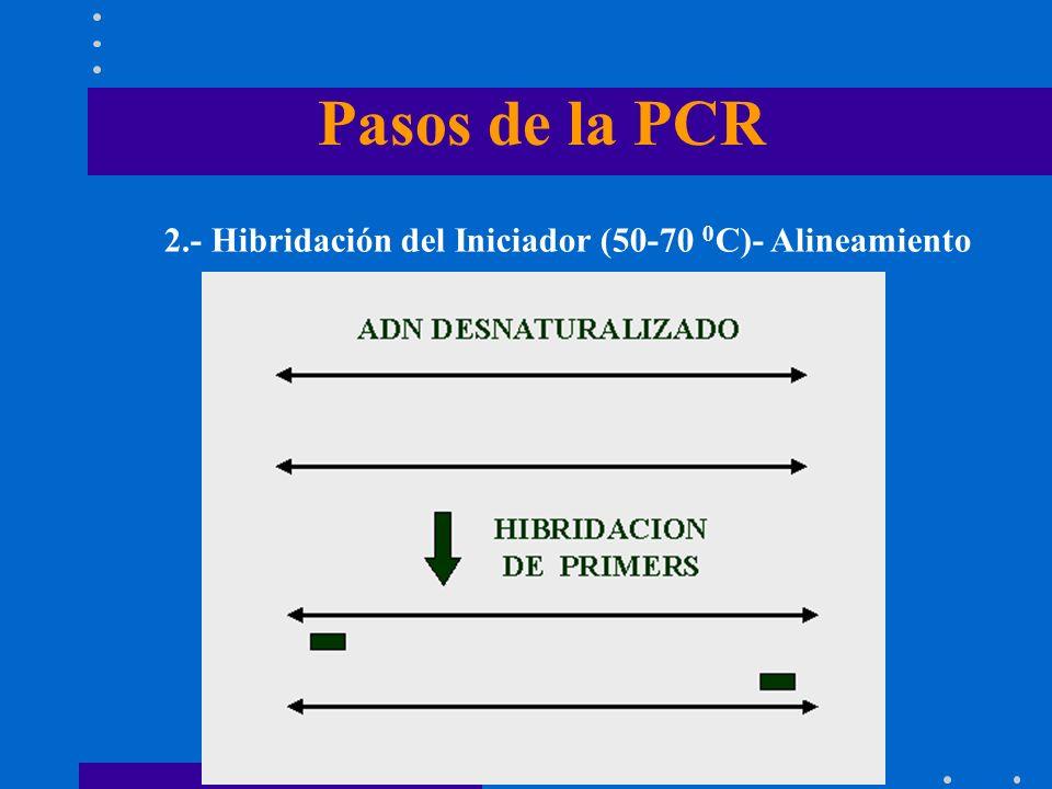 Pasos de la PCR 2.- Hibridación del Iniciador (50-70 0C)- Alineamiento
