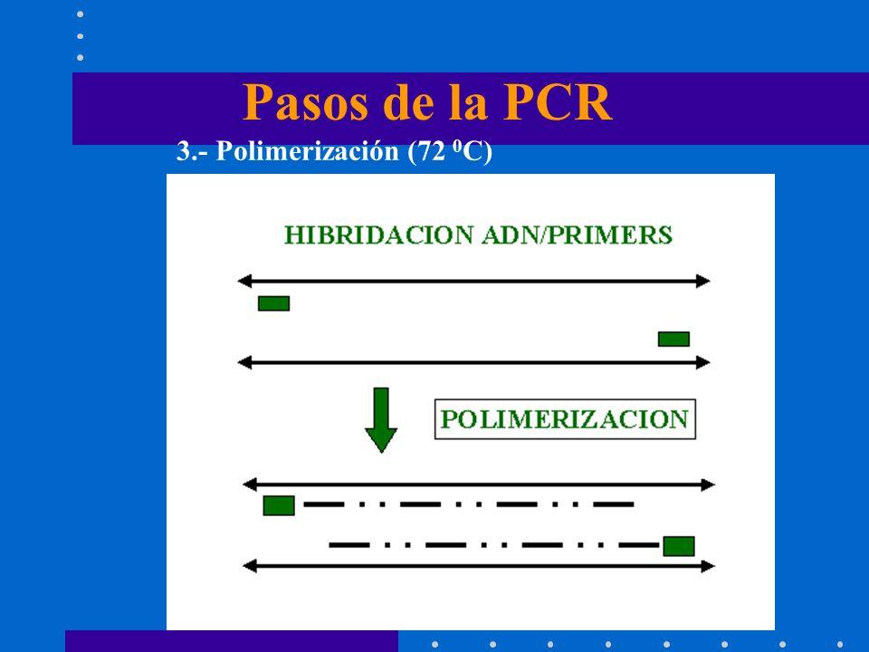 Pasos de la PCR 3.- Polimerización (72 0C)